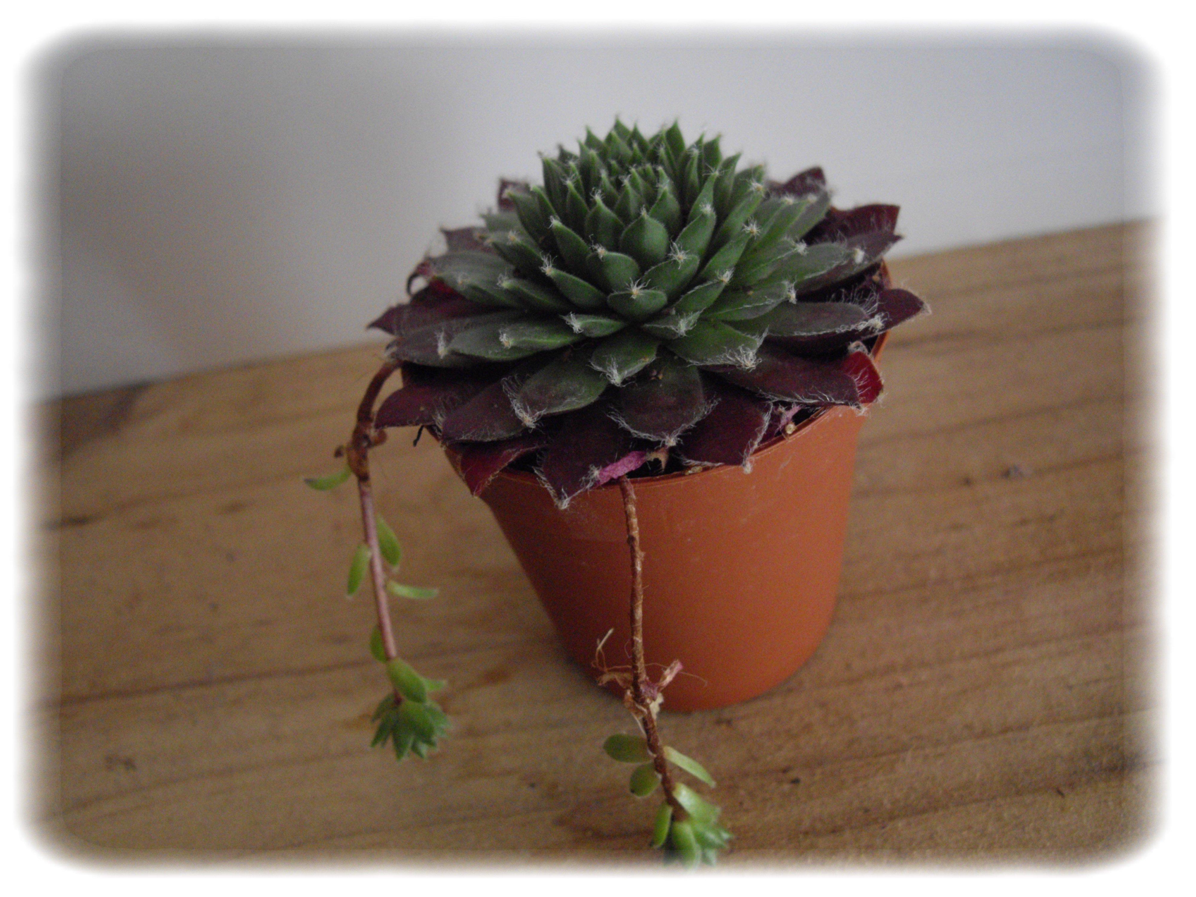 plantes succulentes plantesetanimaux. Black Bedroom Furniture Sets. Home Design Ideas